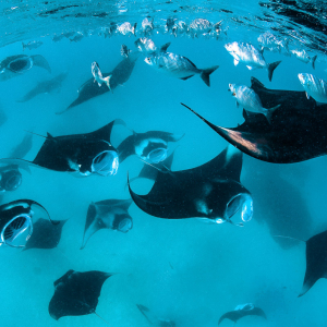 Best places to dive with manta rays - Hanifaru Bay, Maldives