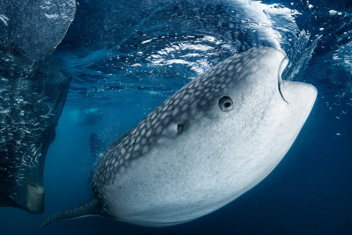 West Papua Triton Bay Whale Shark