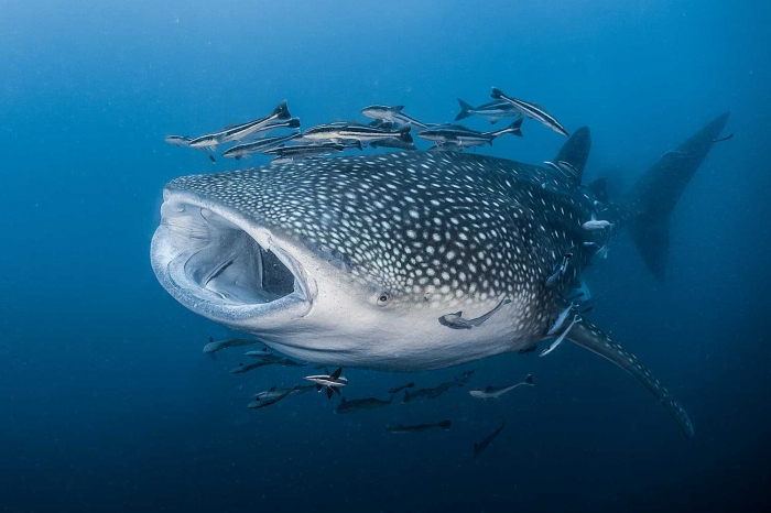 Scuba Diving Thailand Whale Shark