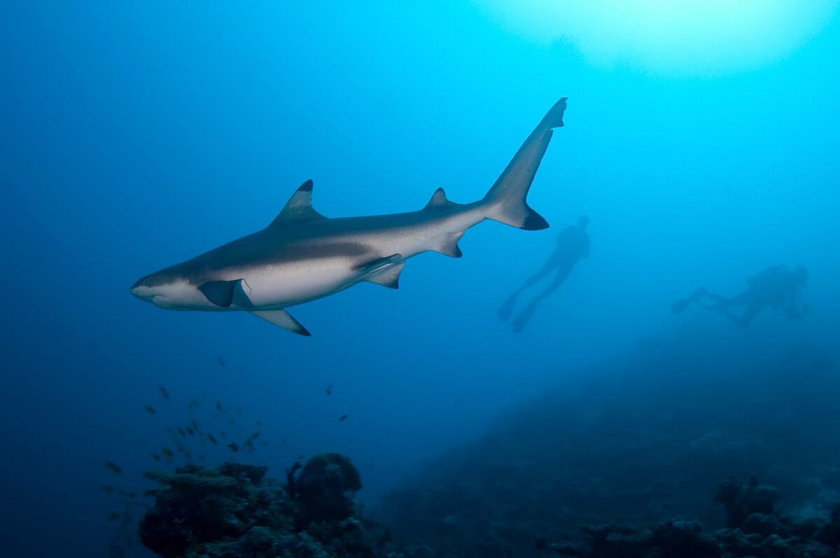 Blacktip_Reef_Shark_Maldives.jpg#asset:5735