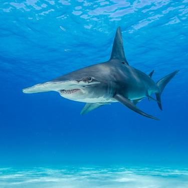 Bahamas Scuba Diving Great Hammerhead Bimini