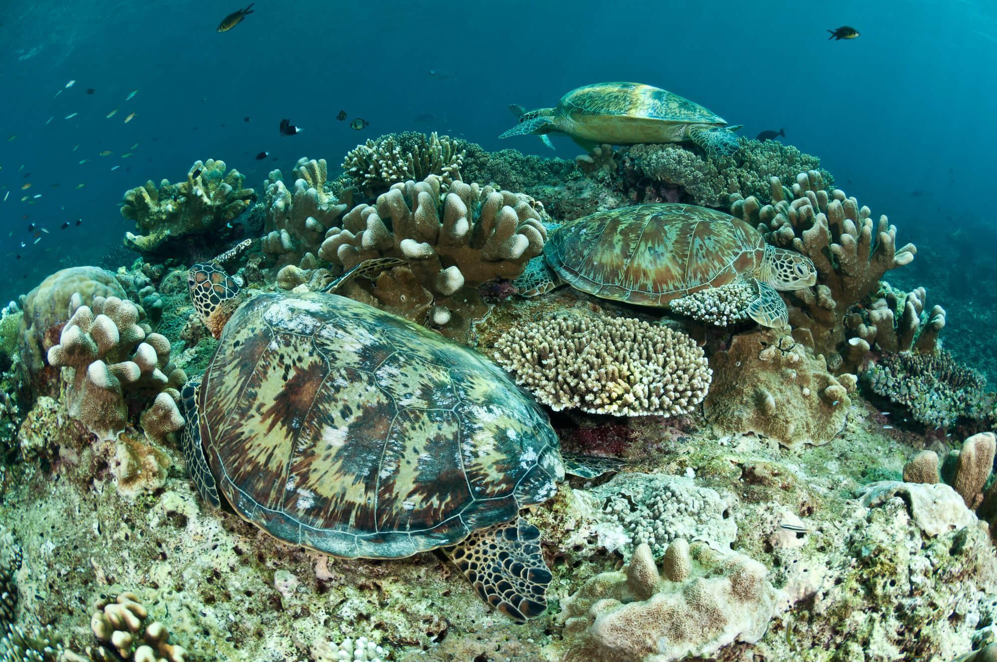 Sabah_Sipadan_Turtles.jpg#asset:2950