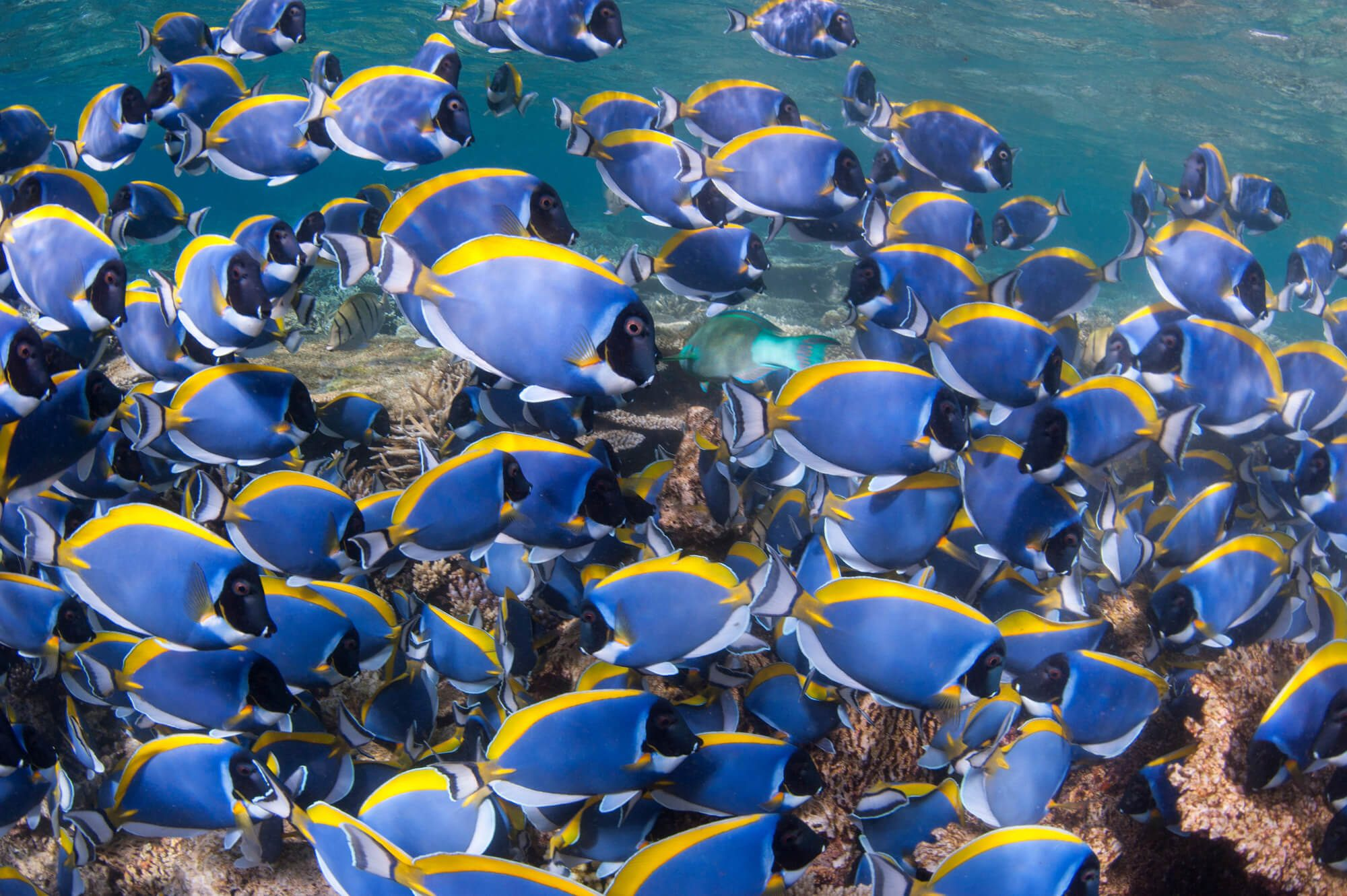 Maldives South Ari Powder Blue Surgeonfish