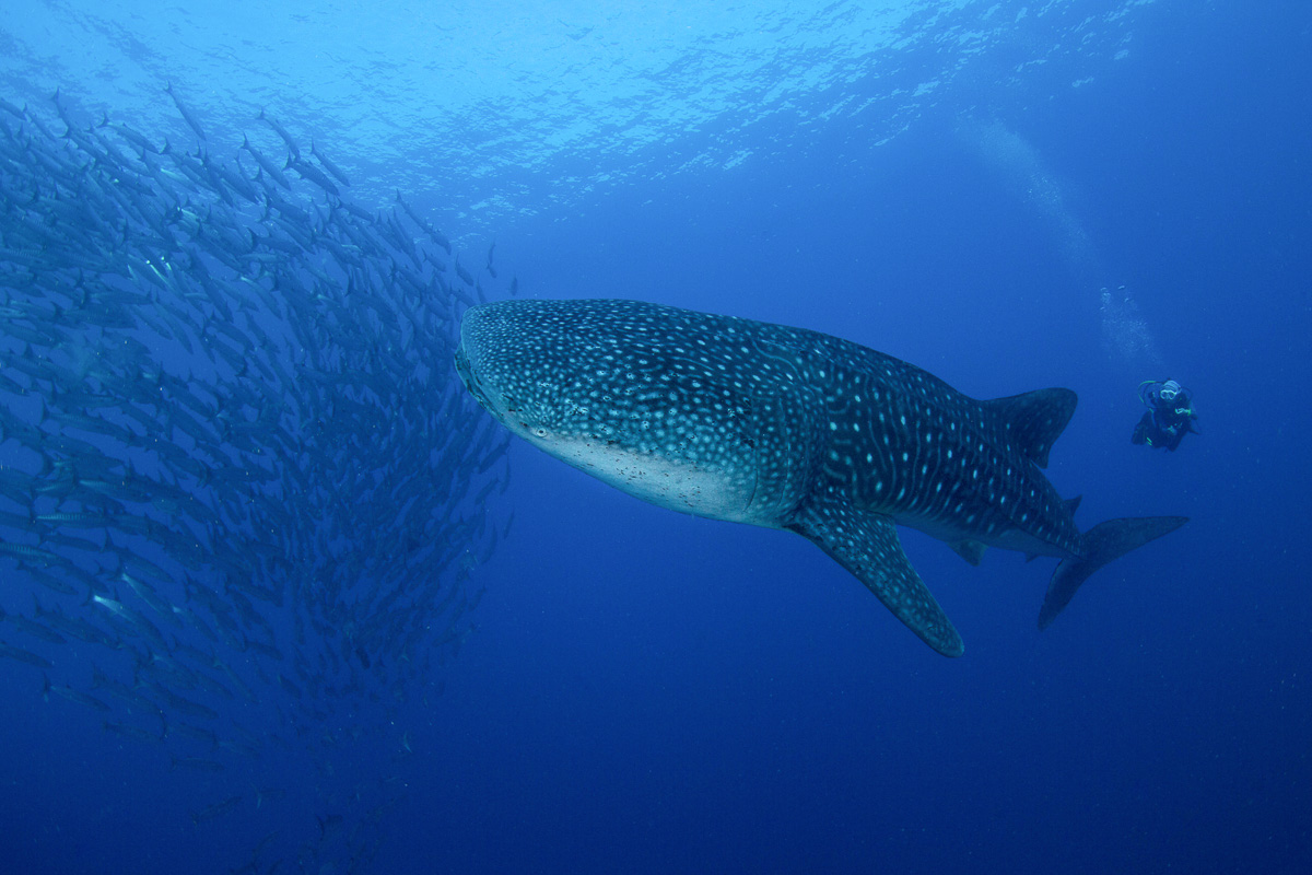 Tubbataha Reefs Diving Philippines 2