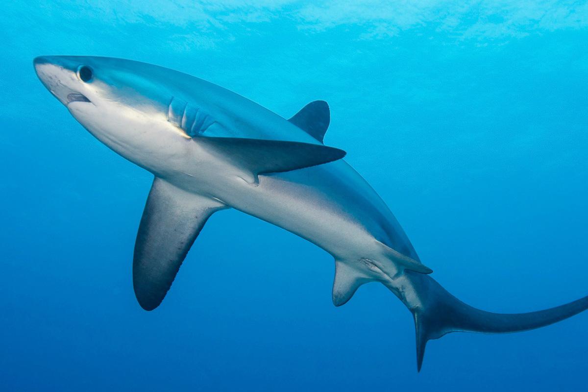 Malapascua Cebu Philiipines Diving Thresher Shark