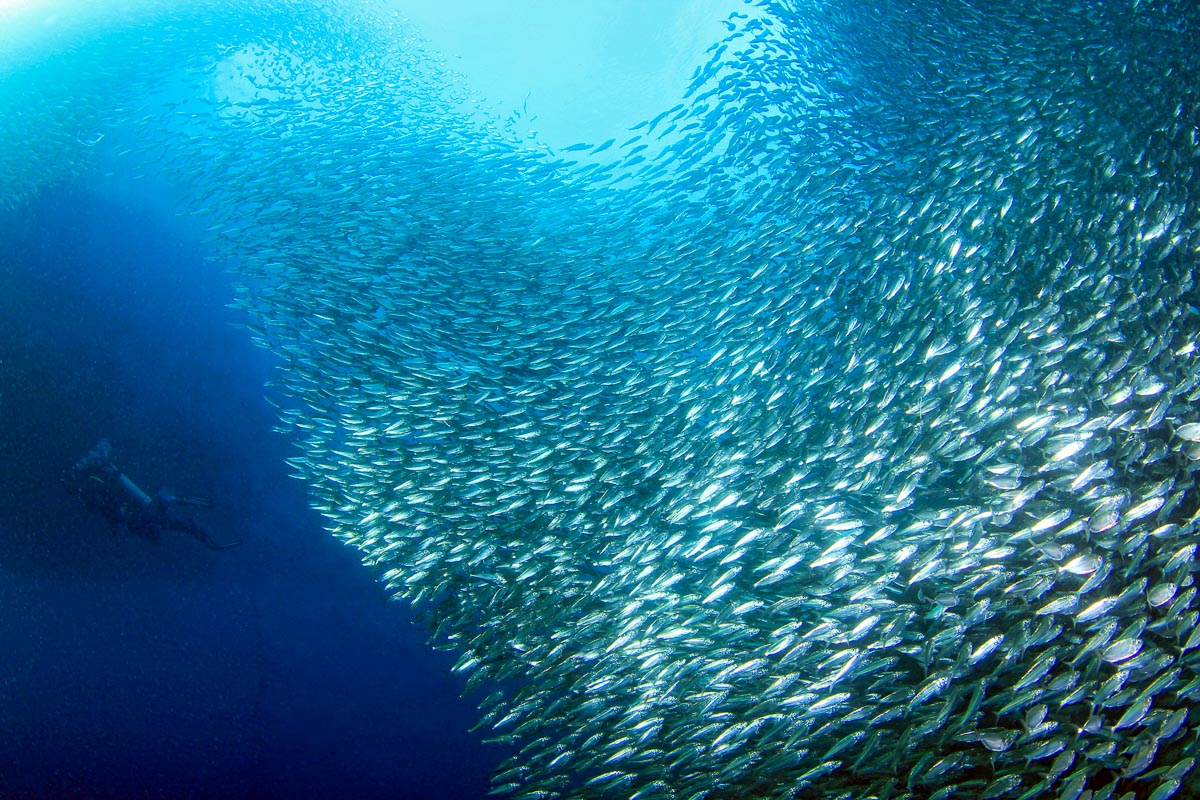 Moalboal Cebu Scuba Diving Sardines Reef 2